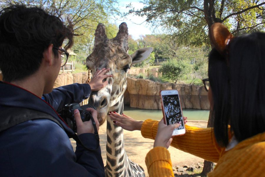 During the Art field trip at the zoo, students were able to feed the giraffes. Senior, Ashley Ho, was capturing the moment of her petting the giraffe on Snapchat. Ho said,